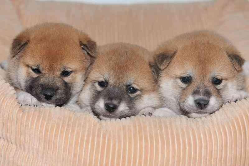 タヌキ顔の柴犬♡可愛いฅ՞•ﻌ&#8…