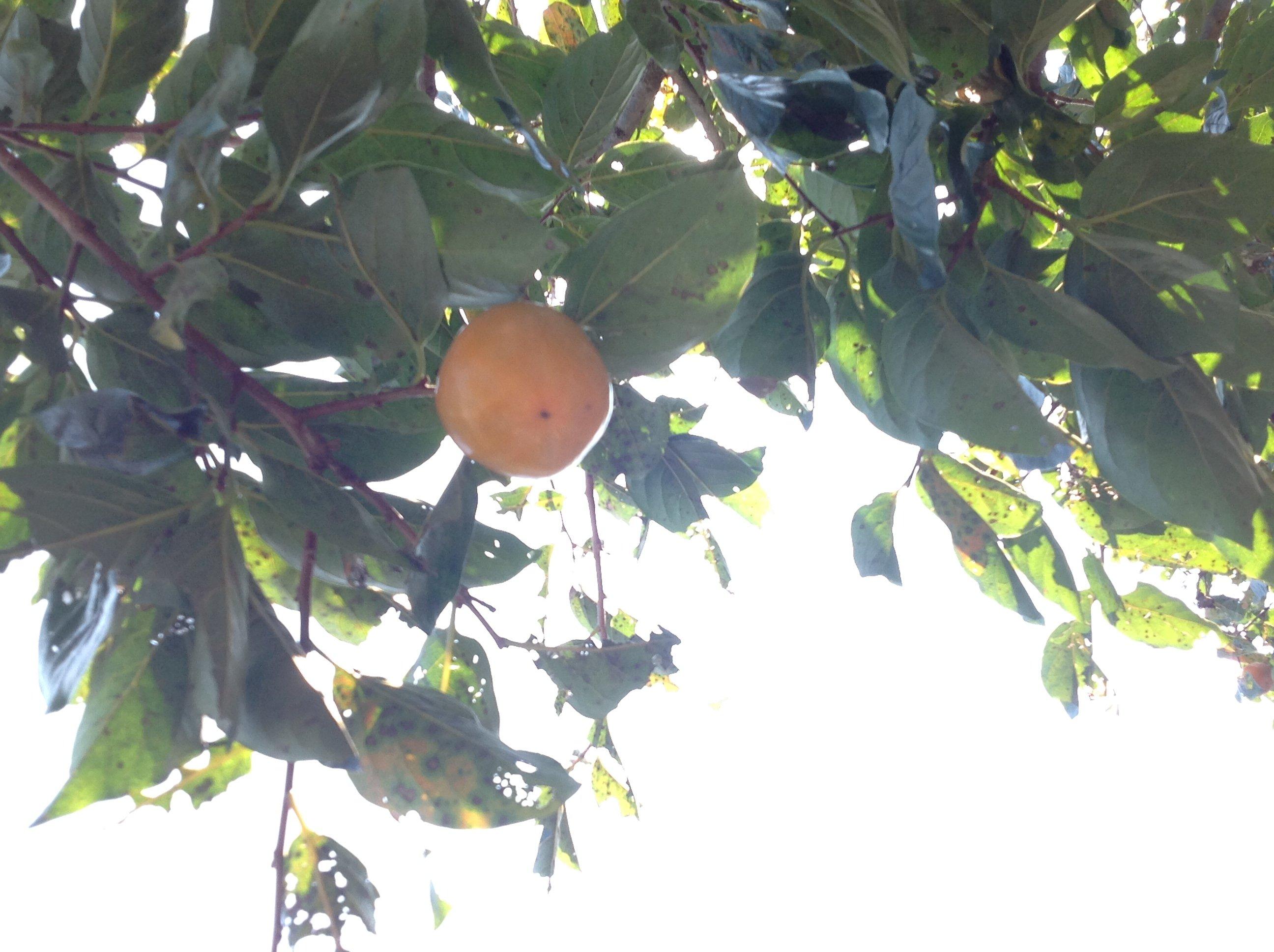 おはようございます♪柿の時期ですね!庭の柿も収穫時期でしょう…