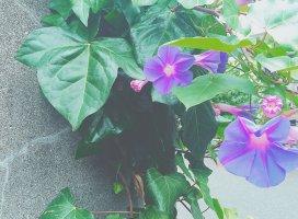 おはようございます♪ 朝顔の季節ですね。花を見るといつも優し…