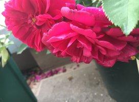 バラが咲いた〜🌹