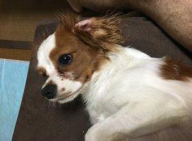 最近飼い始めた愛犬ロワくん♪♪ソファーでのんびりしていたので…