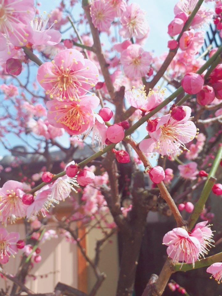 梅の花を見ると、春が近くなったなって思う✨これがそろ…