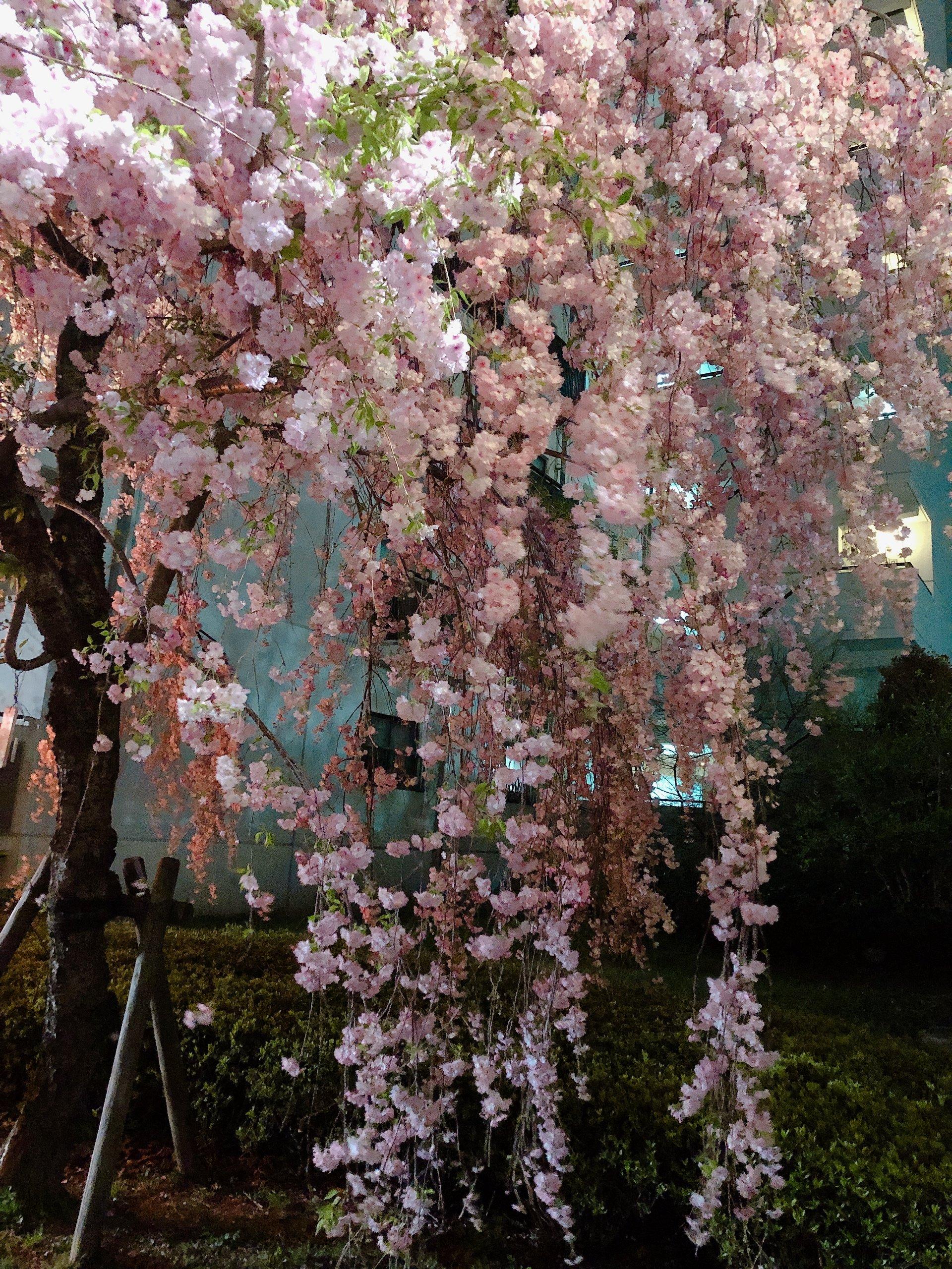 さーさーさー!!!桜🌸も終わり、ゴールデンウイーク突…