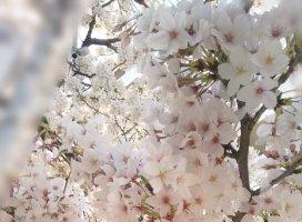 数日前に撮影した桜、満開すごく綺麗で思わず足を止めてパシャ…