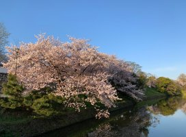 桜が綺麗に咲いていました🌸綺麗✨幸せっ❤