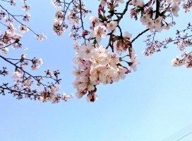 キレイな桜♪ キレイな青空♪ぽかぽか暖かくてお散歩日和です(*⌒▽…