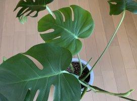 いつのまにかうちのモンステラから春が訪れてるΣ(OωO )植物はわ…