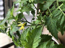 4月に種植えてからずっと成長を見守ってるトマトが今日花咲きま…