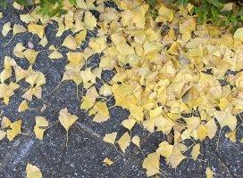 秋だー!あれのくっさい臭いするo(`ω´*)oからからの落ち葉踏む…